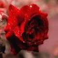 Rose for gulab Jal
